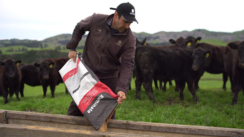 farmer filling cow feeding trough